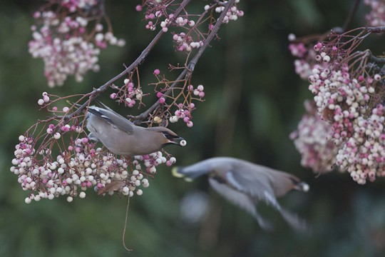 Migrating Waxwings Arrive In The UK From Scandinavia
