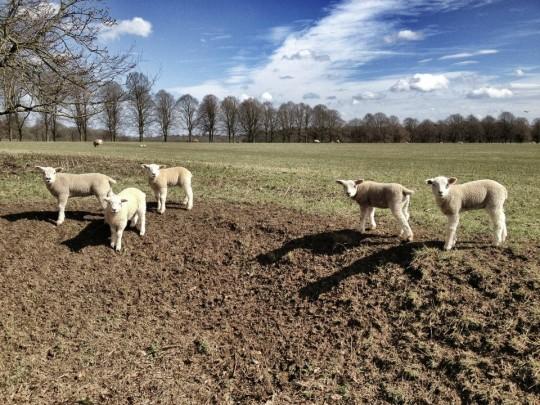 Lambs at the ha-ha