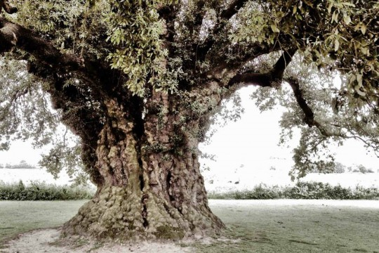 The oldest holm oak in England