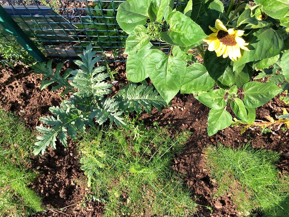 Artichokes, sunflowers, fennel